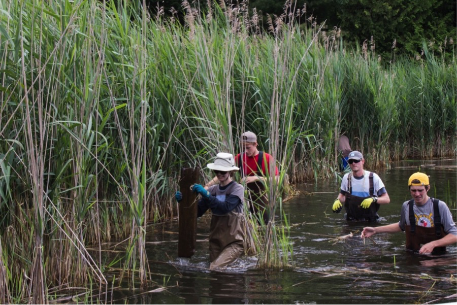 Volunteers clearing out the invasive species Phragmites. Photo credit Georgian Bay Forever