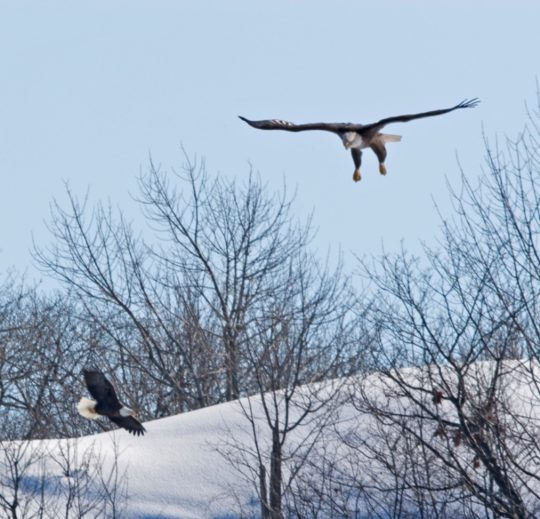 Bald Eagles in flight. Photo Credit: Ted Krug