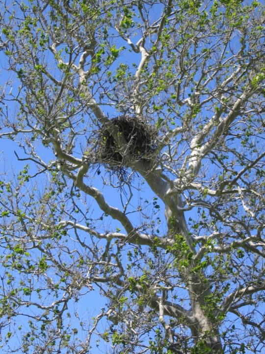 Bald Eagle nest near Lake Erie. Photo Credit: Scott Gillingwater
