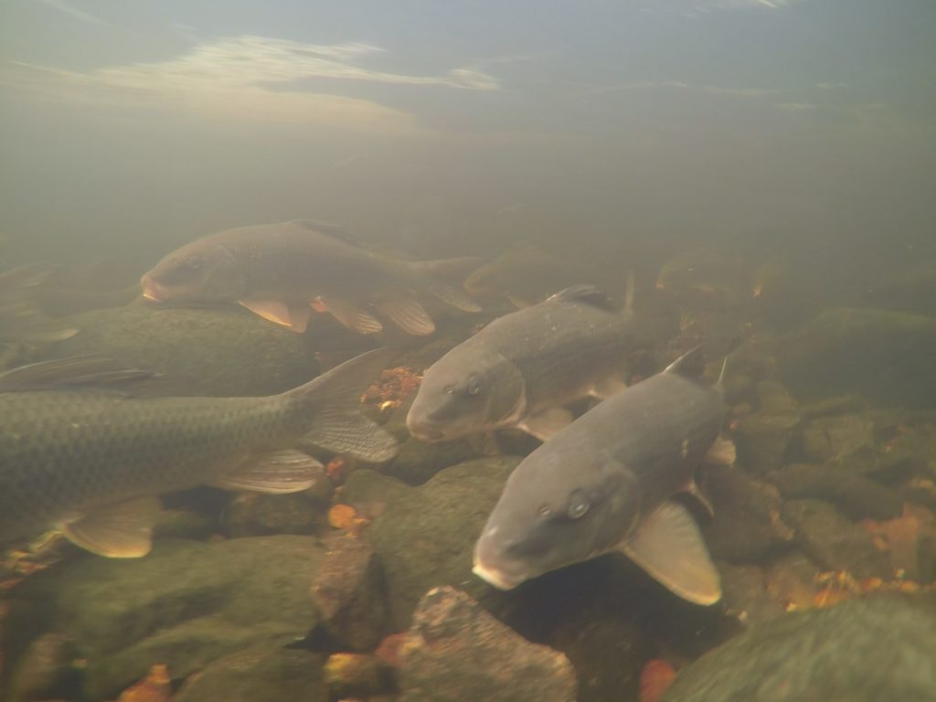 Suckers spawning at Harris Creek. Photo Credit: GBBR