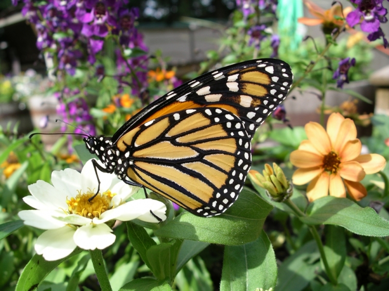 Monarch butterfly. Photo credit Rick Snider