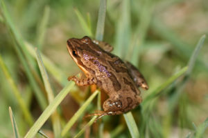 Western Chorus Frog Photo Credit: Scott Gillingwater